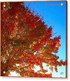 Blazing Orange Maple Tree Acrylic Print