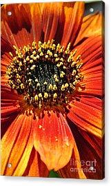 Blazing Sunflower Acrylic Print