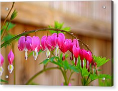 Acrylic Print featuring the photograph Graceful Arch Of Bleeding Heart by Patti Whitten