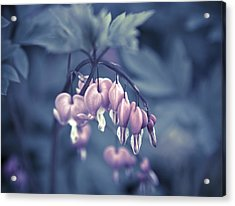 Bleeding Heart Flower Acrylic Print by Frank Tschakert