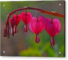 Bleeding Heart Acrylic Print by Juergen Roth