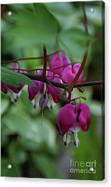 Acrylic Print featuring the photograph Bleeding Heart by Linda Shafer