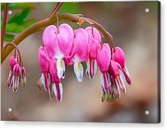 Acrylic Print featuring the photograph Bleeding Heart by Tyson and Kathy Smith