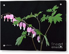 Acrylic Print featuring the photograph Bleeding Hearts 2 by Jeannie Rhode