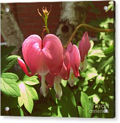 Bleeding Hearts Acrylic Print by Christy Beal