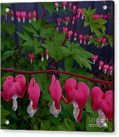 Bleeding Hearts Acrylic Print by Laura  Wong-Rose