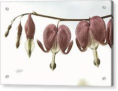 Bleeding Hearts Redux Acrylic Print by Cris Hayes