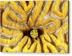 Blenny Living In Brain Coral, Bonaire, N Acrylic Print by James White