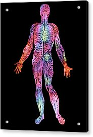 Blood Circulation Acrylic Print