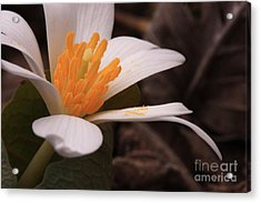 Blood Root Acrylic Print by Janet Felts