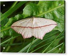 Blood Vein Moth Acrylic Print