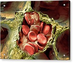 Blood Vessel And Alveoli In Lung Tissue Acrylic Print by Microscopy Core Facility, Vib Gent
