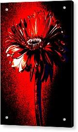 Bloody Mary Zinnia Acrylic Print by Sherry Allen