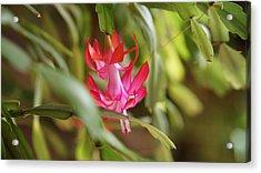 Bloom Acrylic Print by Crystal Harman