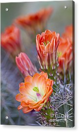 Acrylic Print featuring the photograph Bloom In Orange by Bryan Keil