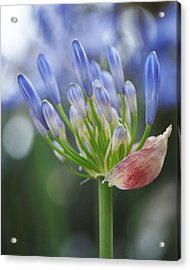 Blooming Agapanthus Acrylic Print by Rona Black