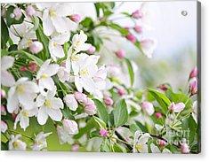 Blooming Apple Tree Acrylic Print by Elena Elisseeva
