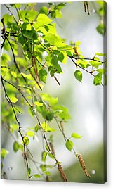 Blooming Birch Tree At Spring Acrylic Print by Jenny Rainbow