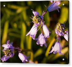 Blooming Bluebells Acrylic Print