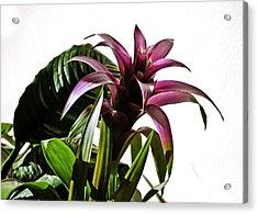 Blooming Bromeliad Acrylic Print by Christi Kraft