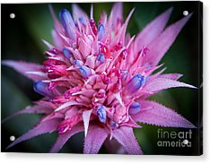 Acrylic Print featuring the photograph Blooming Bromeliad by John Wadleigh
