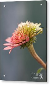 Blooming Coneflower Acrylic Print by Annette Cohen