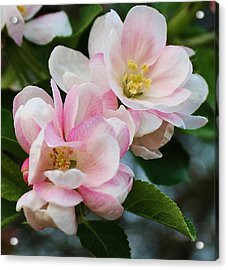 Blooming Crabapple Tree Acrylic Print by Bruce Bley