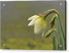 Blooming Daffodils Acrylic Print
