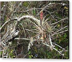 Blooming Epiphyte Loop Road Big Cypress Acrylic Print