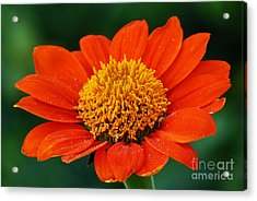 Blooming Flower Acrylic Print