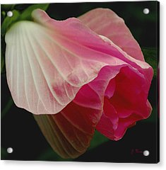 Blooming Hibiscus Acrylic Print by James C Thomas