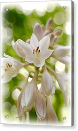 Blooming Hosta Acrylic Print by Kelly Nowak