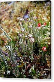 Blooming Lichen Acrylic Print by Steven Valkenberg
