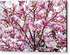 Blooming Magnolia Acrylic Print by Elena Elisseeva