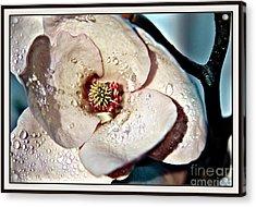 Blooming Magnolia Acrylic Print