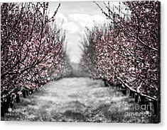 Blooming Peach Orchard Acrylic Print