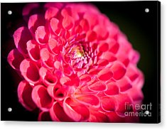 Blooming Red Flower Acrylic Print