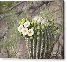 Blooming Saguaro Acrylic Print