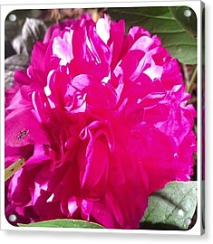Blooming Today. #peony #flower #bloom Acrylic Print