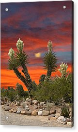 Full Blooming Yucca Acrylic Print by Jack Pumphrey
