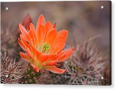 Acrylic Print featuring the photograph Blooms In Orange by Ruth Jolly