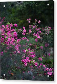 Blooms Of Pink Acrylic Print by Lezlie Faunce