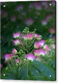 Blooms Of The Mimosa Tree Acrylic Print