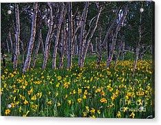 Bloooming Aspens Acrylic Print