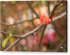 Acrylic Print featuring the photograph Blossom Amidst The Thorns by Lisa Knechtel