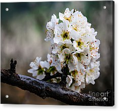 Blossom Gathering Acrylic Print by Terry Garvin