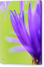 Blossom Macro Acrylic Print by Kim Thompson
