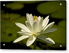 Blossoming Acrylic Print by Kathi Isserman