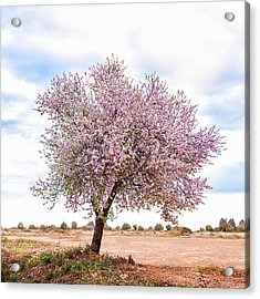 Blossoming Pink Almond Tree Prunus Acrylic Print by Maika 777