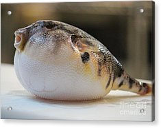 Blowfish 2 Acrylic Print by Cynthia Snyder